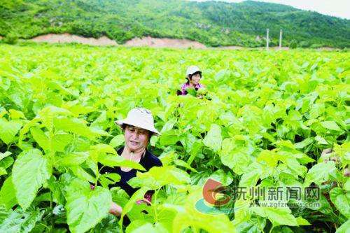 迅猛发展的蚕桑产业带富广大农民。 拷贝.jpg---