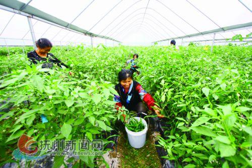 大棚蔬菜铺就产业扶贫致富路 拷贝