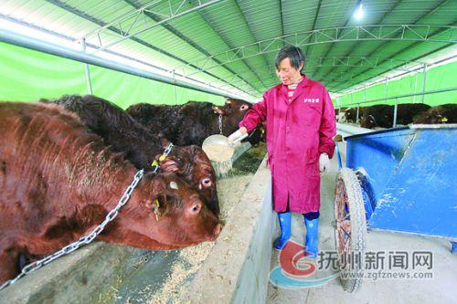 肉牛特色产业扶贫 拷贝