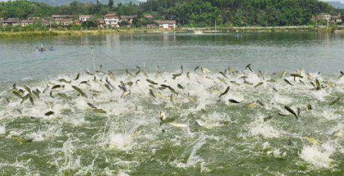 聚龙湾现代水产养殖基地渔业丰收-