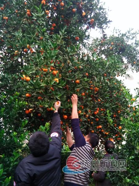 而且这种橘树耐寒,耐旱,耐虫,村民们都把它当成镇宅的吉祥宝树.