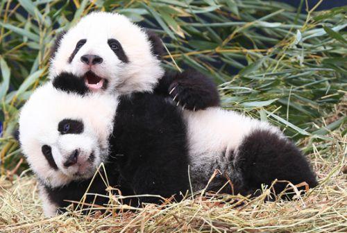 """3月7日,在加拿大多伦多动物园,熊猫幼崽""""加盼盼""""(后)与""""加悦悦""""在活动"""
