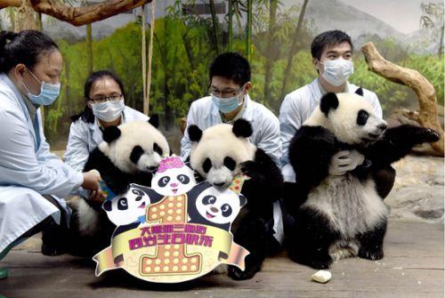 广州长隆野生动物世界提供的三胞胎大熊猫幼仔出生