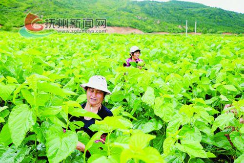 牛田蚕桑基地蚕农正在采摘桑叶。 拷贝