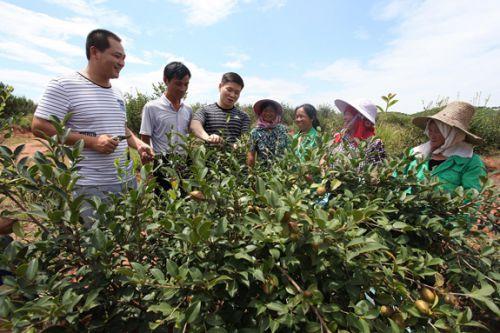瑶圩油茶产业扶贫基地(何江华摄)[1]-