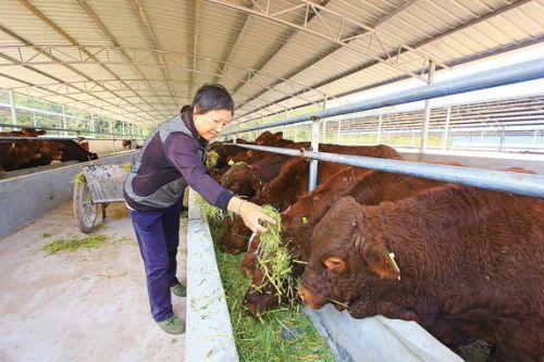肉牛特色产业扶贫-