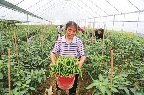 蔬菜产业精准扶贫-