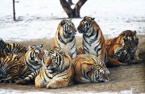 2月10日,在黑龙江东北虎林园散放区,一群东北虎在休息.图片