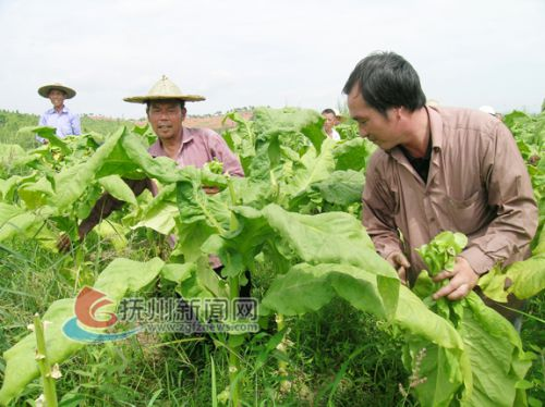 烤烟产业助农富DSCN7393-