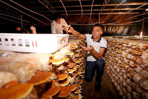 茶薪菇产业扶贫基地
