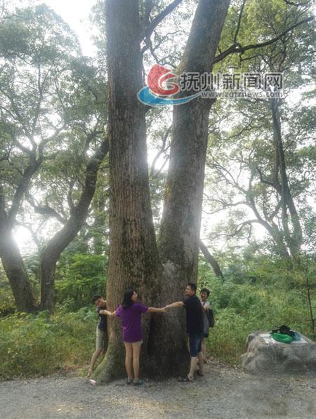 樂安千年古樟林成游客避暑勝地-