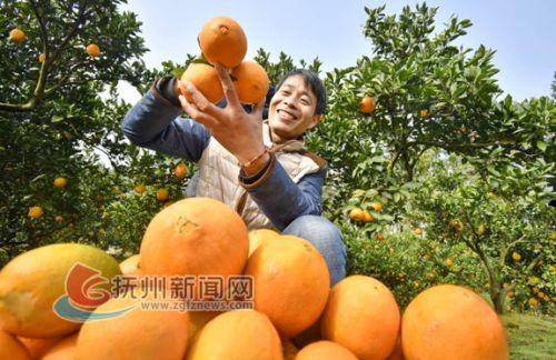 金溪县产业扶贫结硕果,图为合市镇凤凰山村果农在采摘香橙