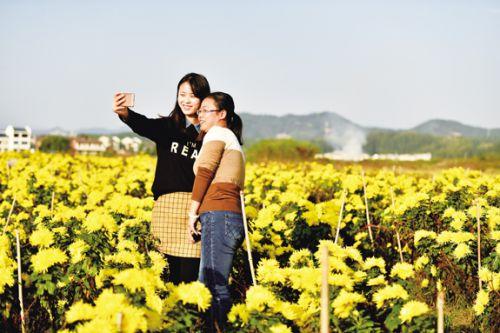 鲜艳盛开的皇菊花旅游基地吸引游人拍照DSC_8187-