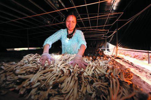 茶树菇产业助脱贫