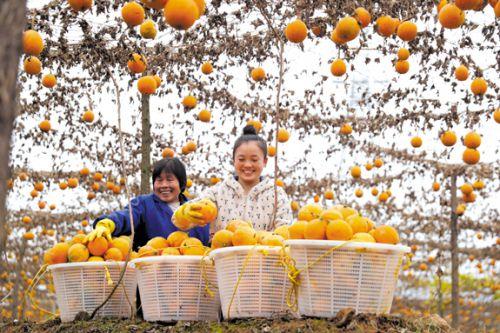 瓜蔞種植基地-