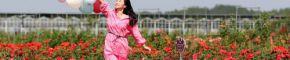 东乡:玫瑰开 乡村游